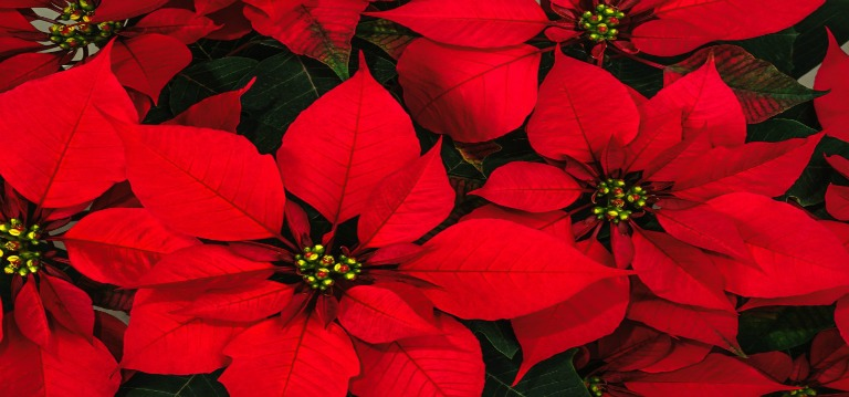 Poinsettia Dedications